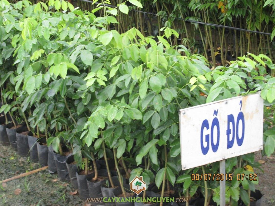 go-do-lao